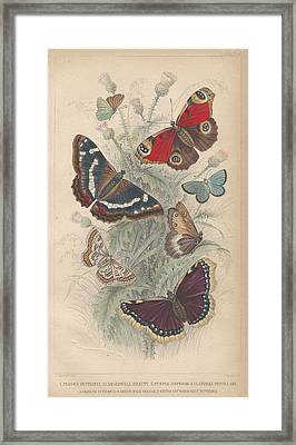Butterflies Framed Print by Oliver Goldsmith