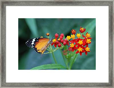 Butterfly 03. Framed Print by Francois Cartier
