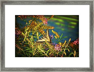 Butterfly Bandit Framed Print by Nick Roberts
