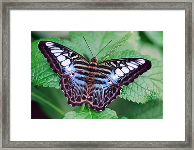 Butterfly Framed Print by Don  Wright
