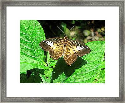 Butterfly Of Brown Wings On Green  Framed Print by Mario Perez
