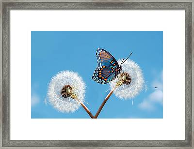 Butterfly On Dandelion Framed Print by Royalty Free