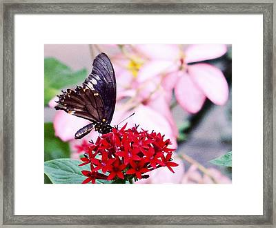 Black Butterfly On Red Flower Framed Print by Sandy Taylor