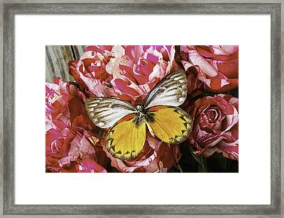 Butterfly Resting On Roses Framed Print by Garry Gay