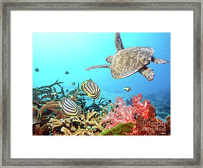 Butterflyfishes And Turtle Framed Print by MotHaiBaPhoto Prints
