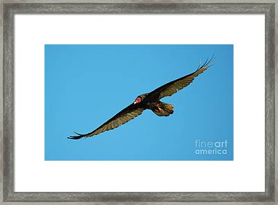 Buzzard Circling Framed Print by Mike Dawson