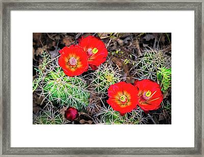 Cactus Bloom Framed Print by Edgars Erglis