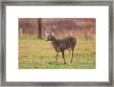 Cades Cove Buck Framed Print by Geraldine DeBoer