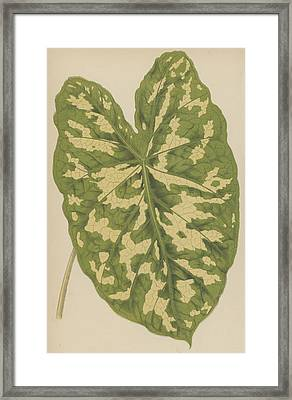 Caladium Pictum Framed Print by English School
