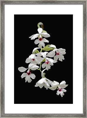 Calanthe Vestita Orchid Framed Print by Rudy Umans