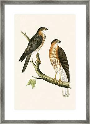 Calcutta Sparrow Hawk Framed Print by English School