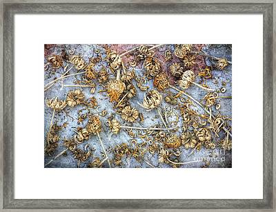Calendula Seeds Framed Print by Tim Gainey