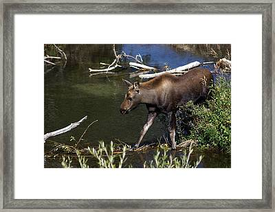 Calf Moose Framed Print by Marty Koch