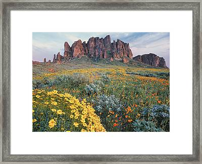 California Brittlebush Lost Dutchman Framed Print by Tim Fitzharris