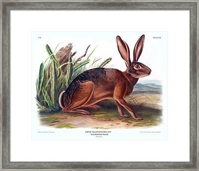 California Hare Antique Print Audubon Quadrupeds Of North America Plate 112 Framed Print by John Audubon