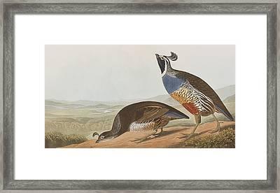 California Partridge Framed Print by John James Audubon