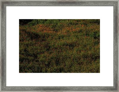 California Poppies Framed Print by Garry Gay