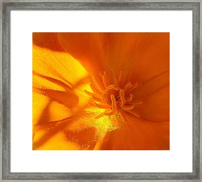 California Poppy Framed Print by Liz Vernand