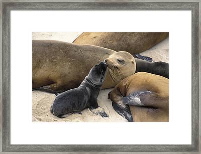 California Sea Lion And Newborn Pup San Framed Print by Suzi Eszterhas
