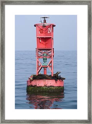 California Sea Lions Zalophus Framed Print by Rich Reid