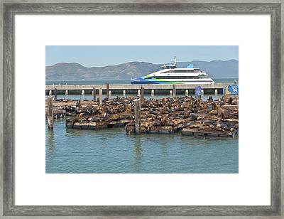 California Sealions In San Francisco Bay. Framed Print by Gino Rigucci