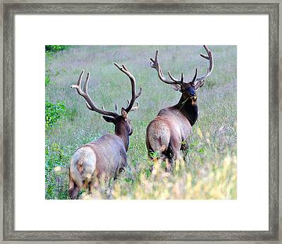 California Tule Elk Framed Print by Michael  Ayers