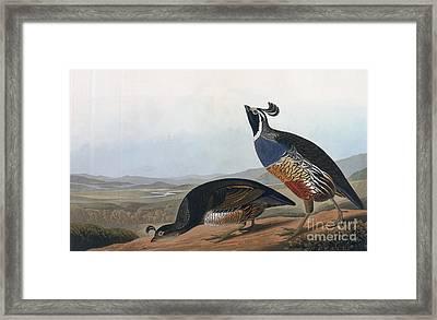 Californian Partridge Framed Print by John James Audubon