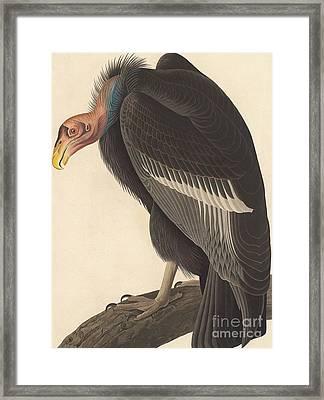 Californian Vulture Framed Print by John James Audubon
