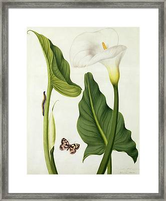Calla Aethiopica With Butterfly And Caterpillar  Framed Print by Matilda Conyers