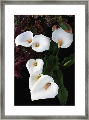 Calla Lilies Framed Print by Aidan Moran