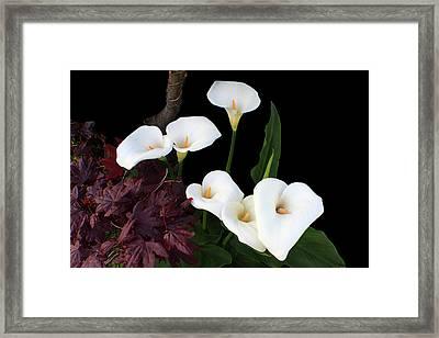 Calla Lilies In Spring Framed Print by Aidan Moran