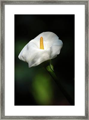 Calla Lilly Framed Print by Ana Searcy