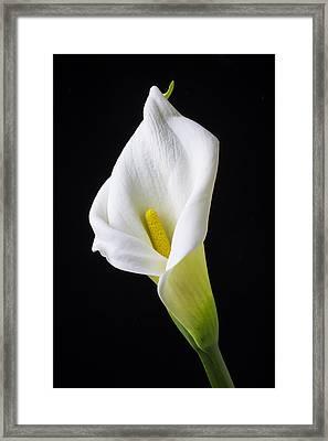 Calla Still Life Framed Print by Garry Gay
