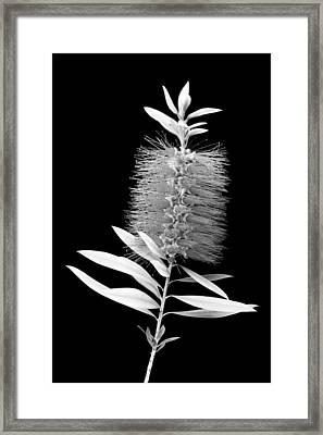 Callistemon Beauty 3 Framed Print by Kelley King