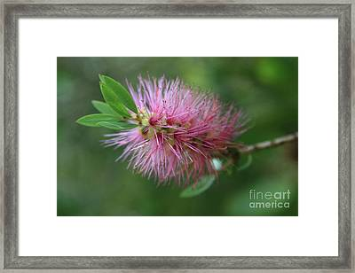 Callistemon Viminalis Taree Pink Weeping Bottlebrush Flowering Trees Of Hawaii Framed Print by Sharon Mau