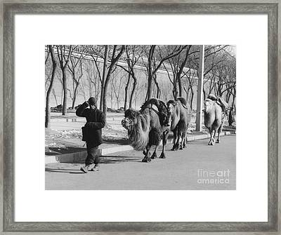 Camel Caravan, China 1957 Framed Print by The Phillip Harrington Collection