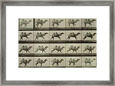 Camel Framed Print by Eadweard Muybridge
