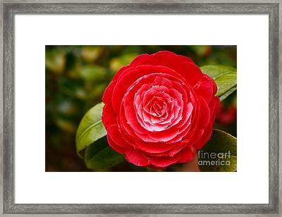 Camellia Japonica Framed Print by Gaspar Avila