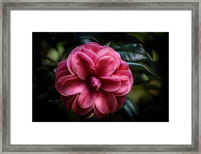 Camellia Japonica Framed Print by Zina Stromberg
