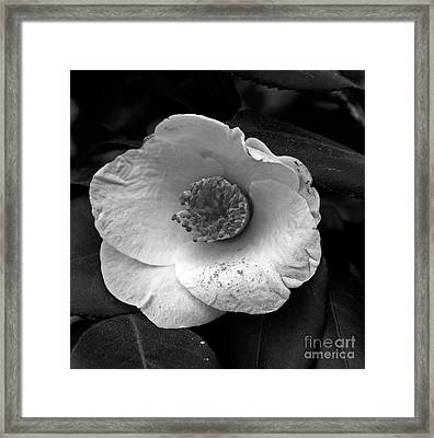 Camellia Framed Print by Skip Willits