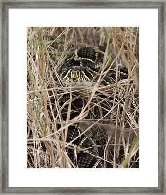 Camouflaged Diamondback Framed Print by Dana  Oliver