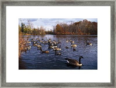 Canada Geese Branta Canadensis Framed Print by Panoramic Images