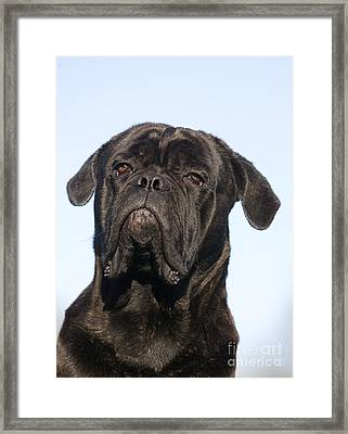 Cane Corso, Italian Dog Breed Framed Print by Gerard Lacz