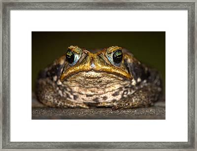 Cane Toad Rhinella Marina, Pantanal Framed Print by Panoramic Images