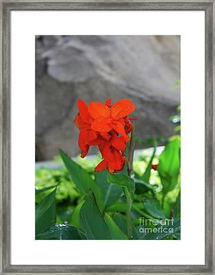 Canna 8 Framed Print by Padamvir Singh