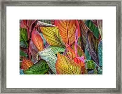 Canna Framed Print by James Barber