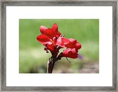 Canna Bloom Framed Print by Angela Koehler