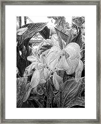 Canna Lily Flowers With Water Drops Framed Print by Dorothy Berry-Lound