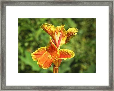 Canna Lily Framed Print by Kenneth Albin
