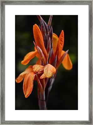 Canna Lily  Framed Print by Pamela Patch
